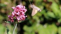 Mavuň zvlášť milují lišajovití motýli s dlouhým sosákem.