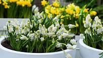 Bíle kvetoucí modřence v nádobách.