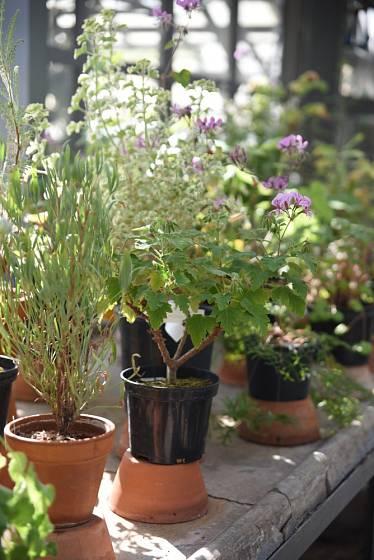 Přezimování pelargonií ve skleníku.