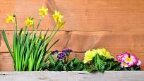 Narcisy a primule se v truhlících osvědčily.