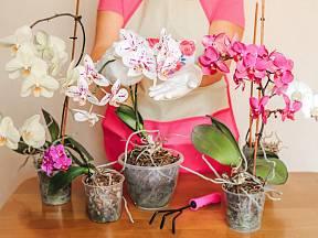 Kvetoucí orchideje jsou ozdobou bytu