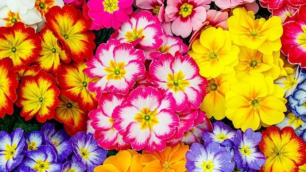 Pestré květy primulek lákají k nákupu.