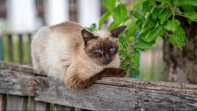 Siamské kočky svým nezaměnitelným vzhledem upoutají každého.