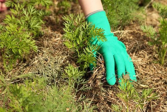 Vrstva mulče ochrání i přezimující výsevy zeleniny