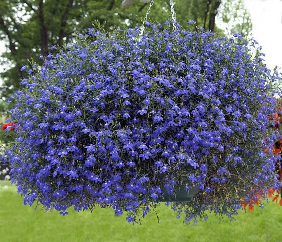 V závěsném košíku vytvoří lobelky bohatý vodopád květů