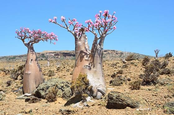 Adenium na náhorní plošině Mumi na jemenském ostrově Socotra.