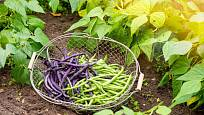Mladé fazolky můžeme sklízet po celou sezónu