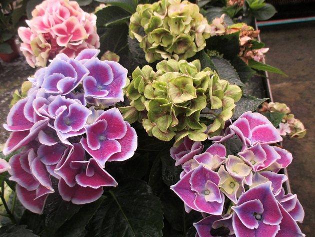 Hortenzie - vícebarevné květy.