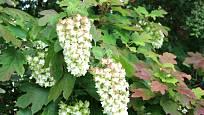 Hydrangea quercifolia - hortenzie dubolistá.