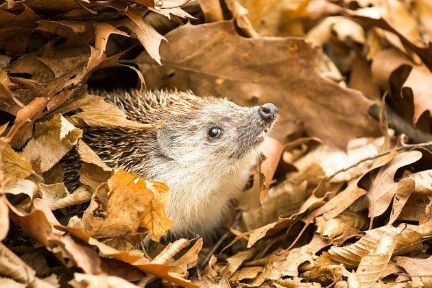 Ježek může přezimovat v kupce listí či v kompostu.