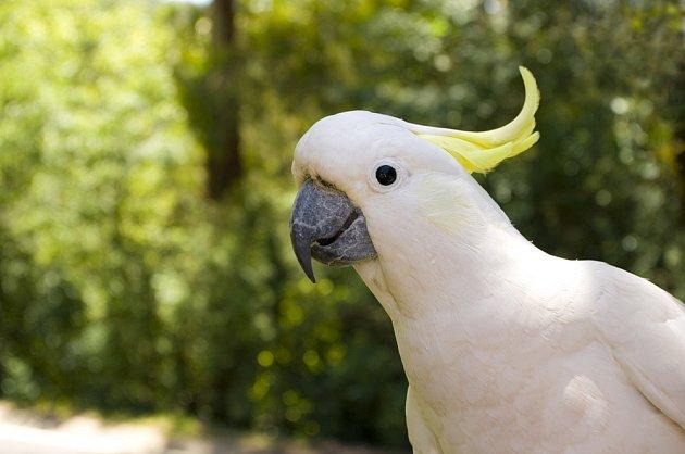 Kakadu žlutočelatý