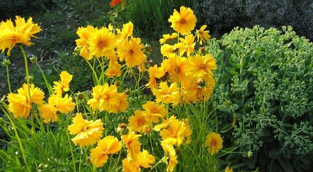 Krásnoočko velkokvěté (Coreopsis grandiflora)