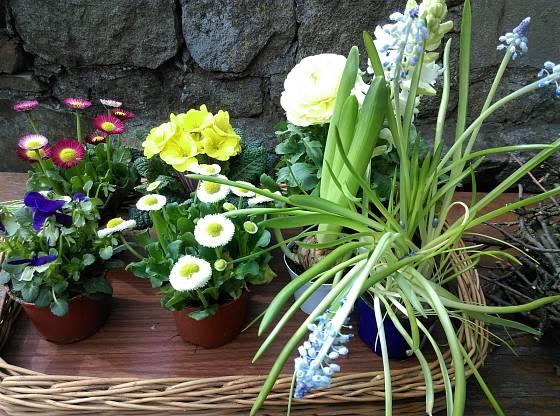Květin do  jarního aranžmá máme na výběr spoustu.