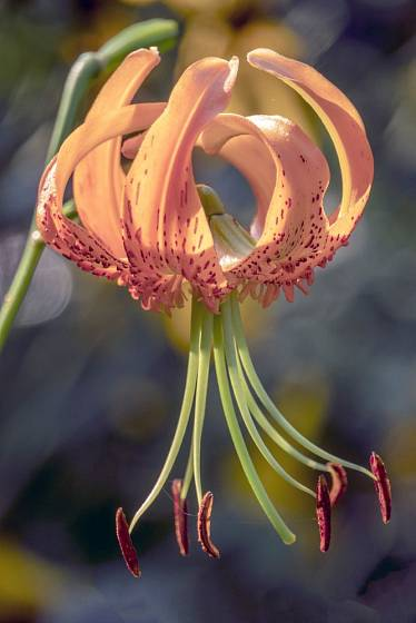 lilie Henryova (Lilium henryi)
