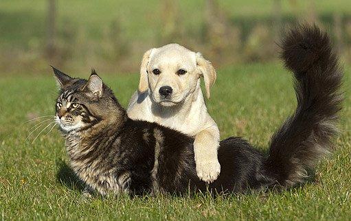 mainská mývalí kočka se dobře snáší se psy