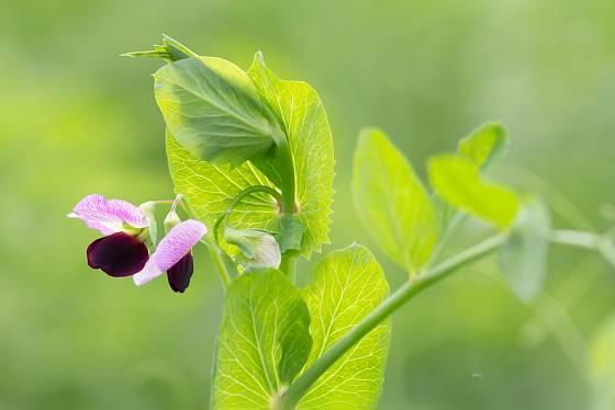 Peluška je vhodná jako zelené hnojení.