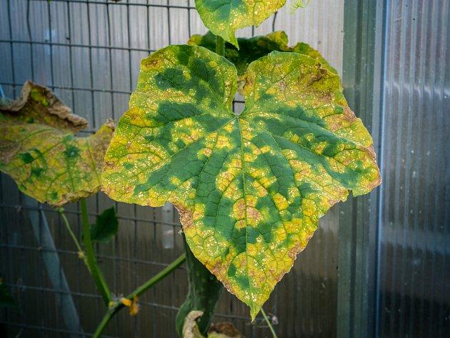plíseň okurky (Pseudoperonospora cubensis)