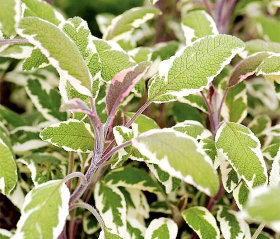 Šalvěj lékařská (Salvia officinalis) 'Tricolor'