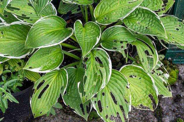 Slimáci častokrát nepohrdnou ani okrasnými rostlinami.