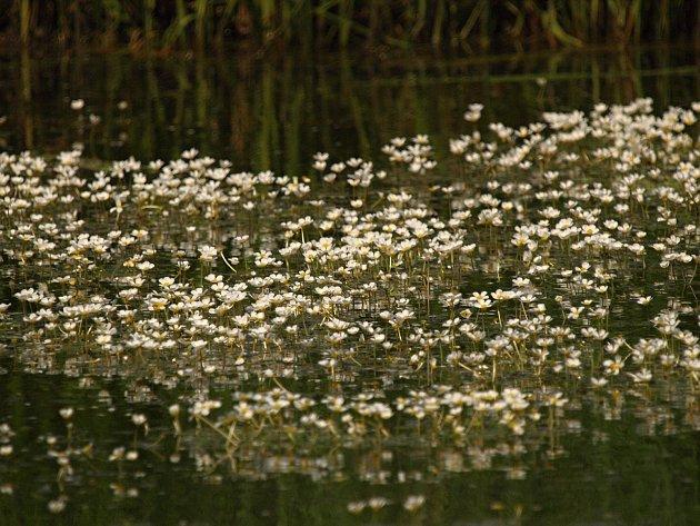 Batrachium aquatile, syn.: Ranunculus aquatilis