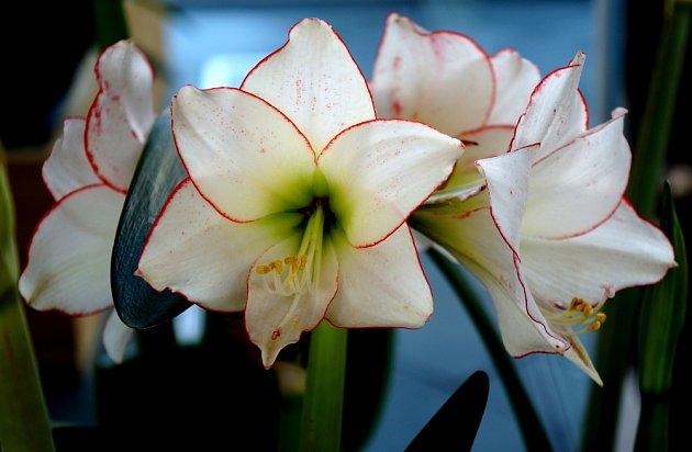 Hvězdníky využijeme o svátcích jako cibulovinu v květináči, ale i jako řezanou květinu vhodnou do kytic.