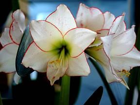 Hvězdníky využijeme  jako cibulovinu v květináči i jako řezanou květinu vhodnou do kytic.