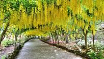 Štědřenec - zlatý déšť