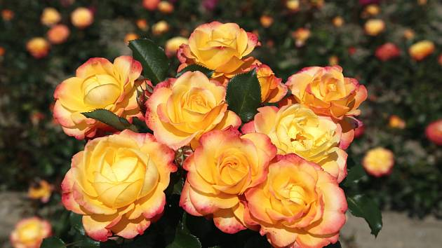 Růže odrůdy Flaming Star