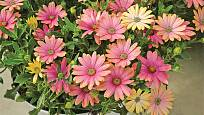 Astra Pink Yellow