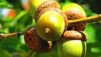 Žaludy dubu červeného