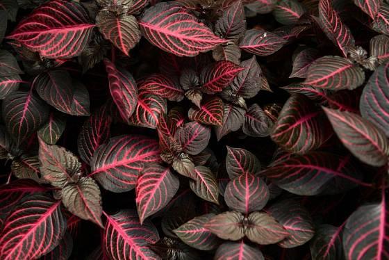 Iresine trojbarevná (Iresine herbstii)