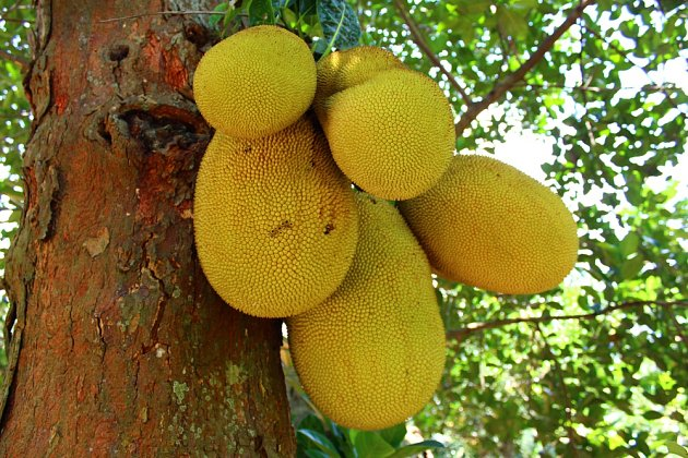 Plodenství jackfruitu roste přímo na kmeni stromu.