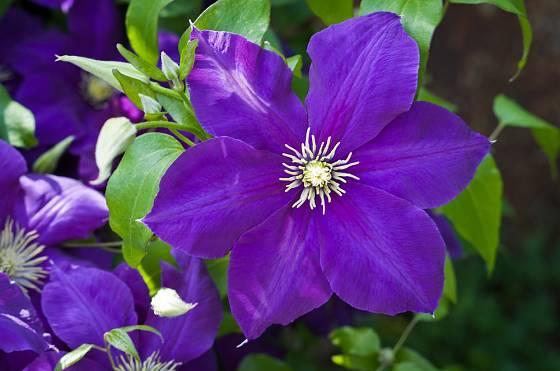 Plamének (Clematis) má mnoho půvabných kultivarů.