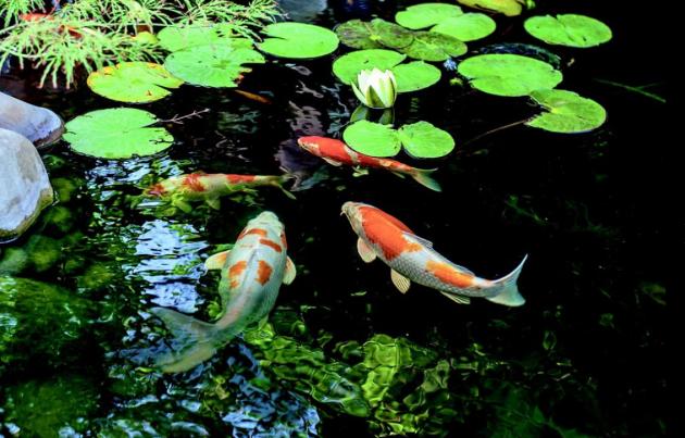 Přemnožení řasy v zahradním jezírku je nebezpečné i pro ryby.