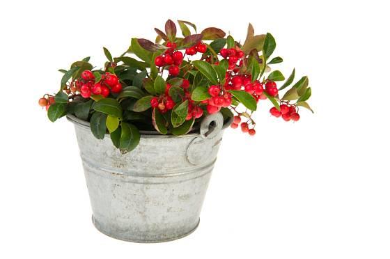 Libavku můžeme po určitou dobu pěstovat i jako dekorační pokojovou rostlinu