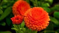 Pěstovat můžete i plnokvěté variety měsíčku