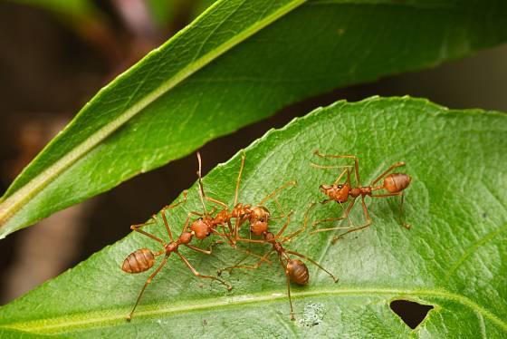 Mravenci s oblibou vykusují mladé šťavnaté listy a listové pupeny stromů.