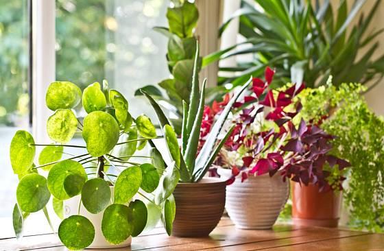 Mnozí pěstitelé upřednostňují spíše nekvetoucí pokojové rostliny,