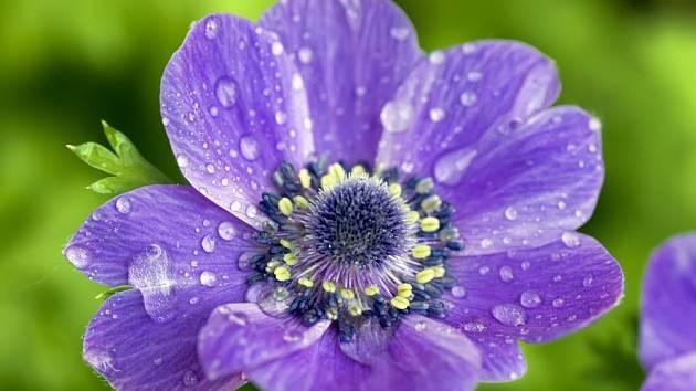 V zahradách můžeme pěstovat i sasanky s různě barevnými květy.