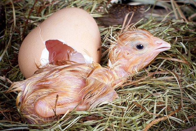 Čerstvě vylíhlé kuře