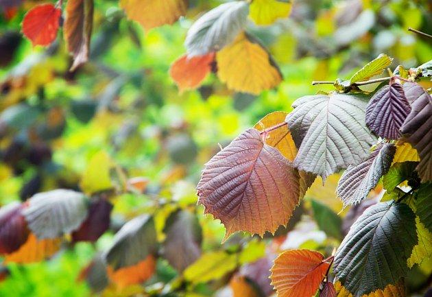 Lísky mají velké, rozmanitě zbarvené listy