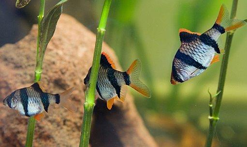 Parmička čtyřpruhá (Barbus tetrazona)