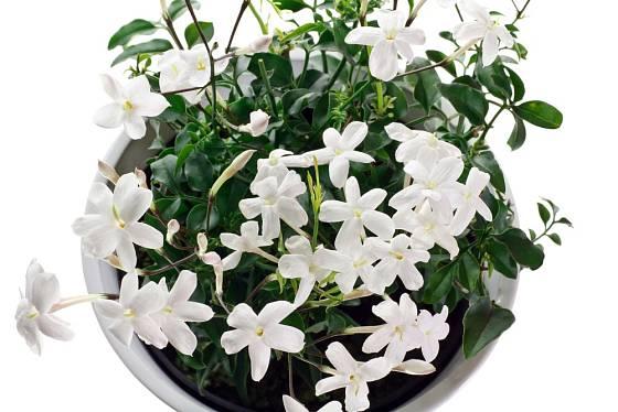 Pravý jasmín můžeme pěstovat jako pokojovou rostlinu.