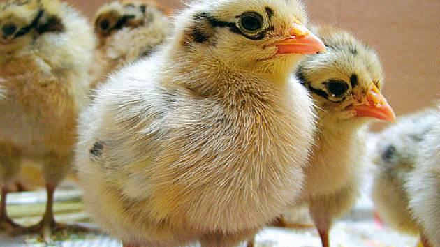 Jednodenní kuřata v kartonové krabici vystlané novinami. 53abf7023e