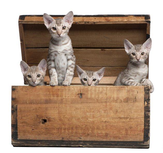 Krásné plemeno vzniklo křížením siamských a habešských koček.