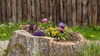 Nízký pařez ponechaný v zahradě se špatně vykopává.