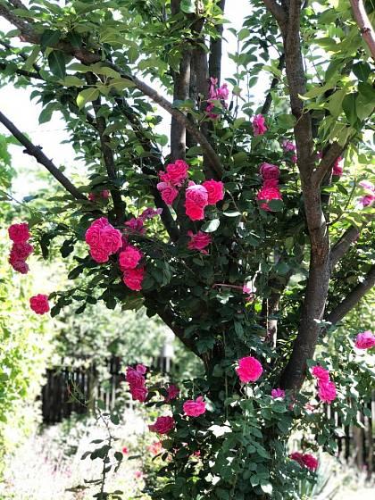 Popínavé růže mohou zkrášlit i mladší strom