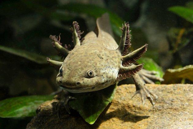 Axolotl se nápadně podobá draku Bezzubkovi z dětských animovaných filmů.