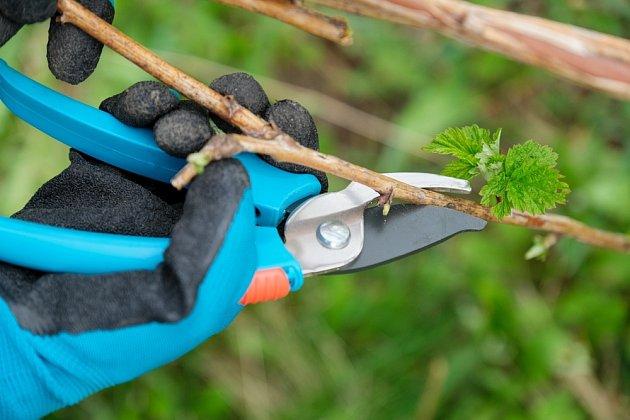 Malinám i ostružinám pravidelně stříhejte přerostlé větve.