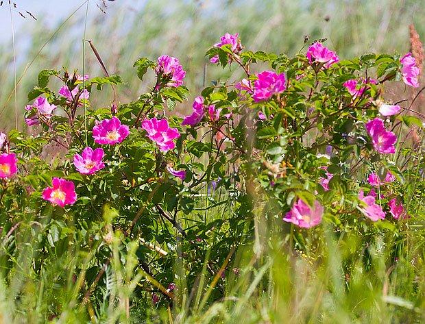 růže svraskalá kvete, plodí, nevyžaduje řez ani hnojení, netrpí chorobami
